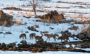 Caption:  Itamar wolf Pack. Photo courtesy of Itamar Yairi