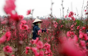 Hanoi, Vietnam A farmer tends to peach blossom flowers which is believed to bring luck to families and is used to decorate homes during the Vietnamese Tet or Lunar New Year festival which starts next week