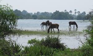 Wild horses at Delft, Sri Lanka