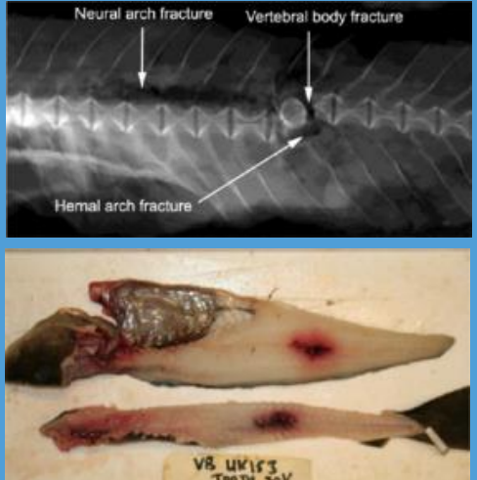 Between 50 and 70% of large cod that come close to a passing electrode at realistic field strengths suffer fractured vertebrae