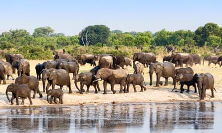 A herd of African elephants drinking at a muddy waterhole, Hwange national Park, Zimbabwe, 26 October 2014 .