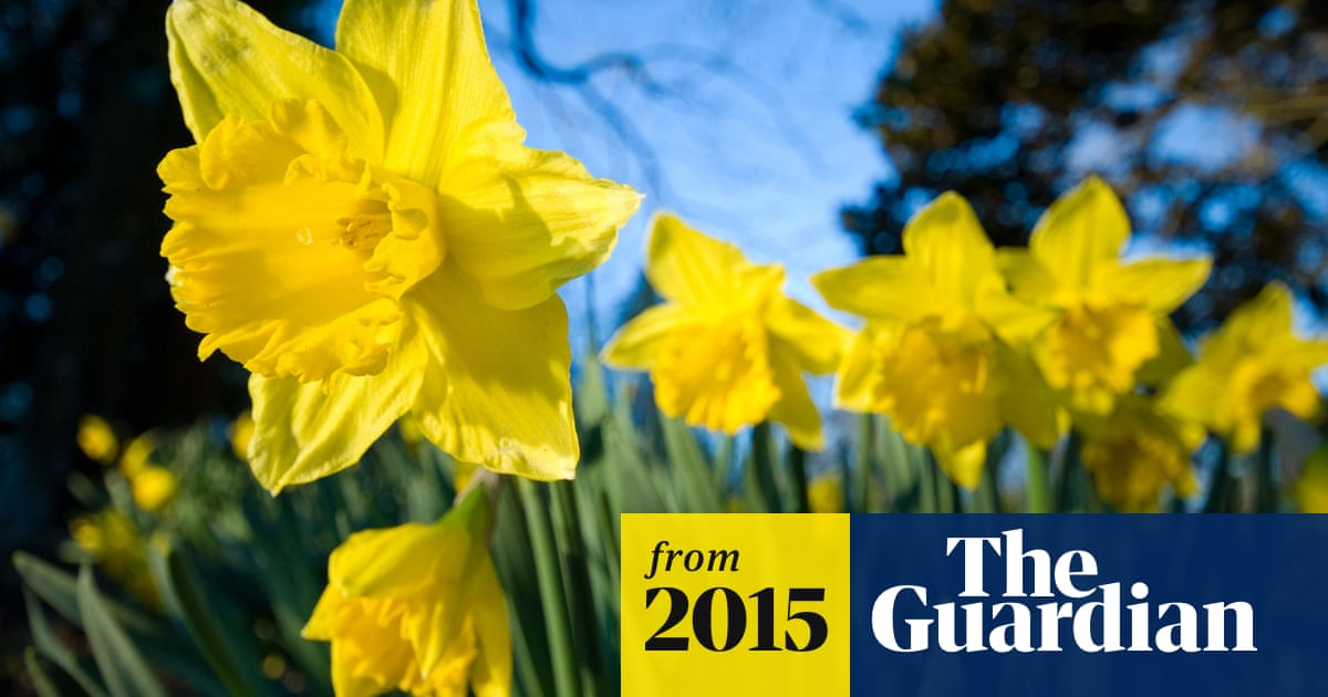 More Interesting Than Food Narcissus >> Keep Daffodils Away From Food Supermarkets Told Business The