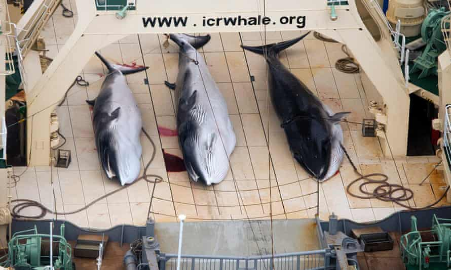 Three dead protected Minke Whales on the deck of the Japanese Ship, Nisshin Maru in the Southern ocean.