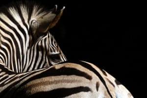 A Zebra glances at visitors to the Dehiwala National Zoo. Over one and half million people visit the zoo each year