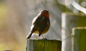 The year is still new and few birds are singing without circumspection, except robins.