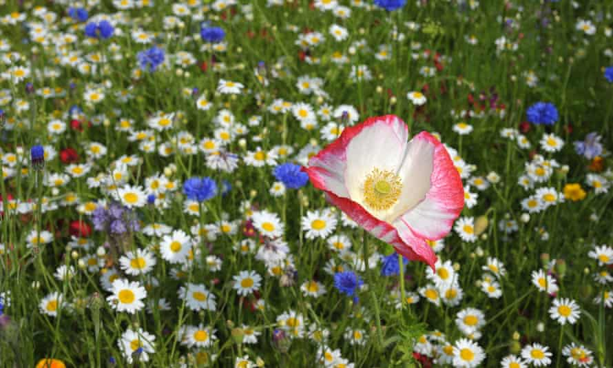 White with pink fringe poppy amongf wild flowers, standing high above the rest.