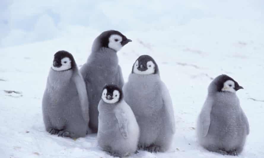Emperor penguin chicks huddled against snow