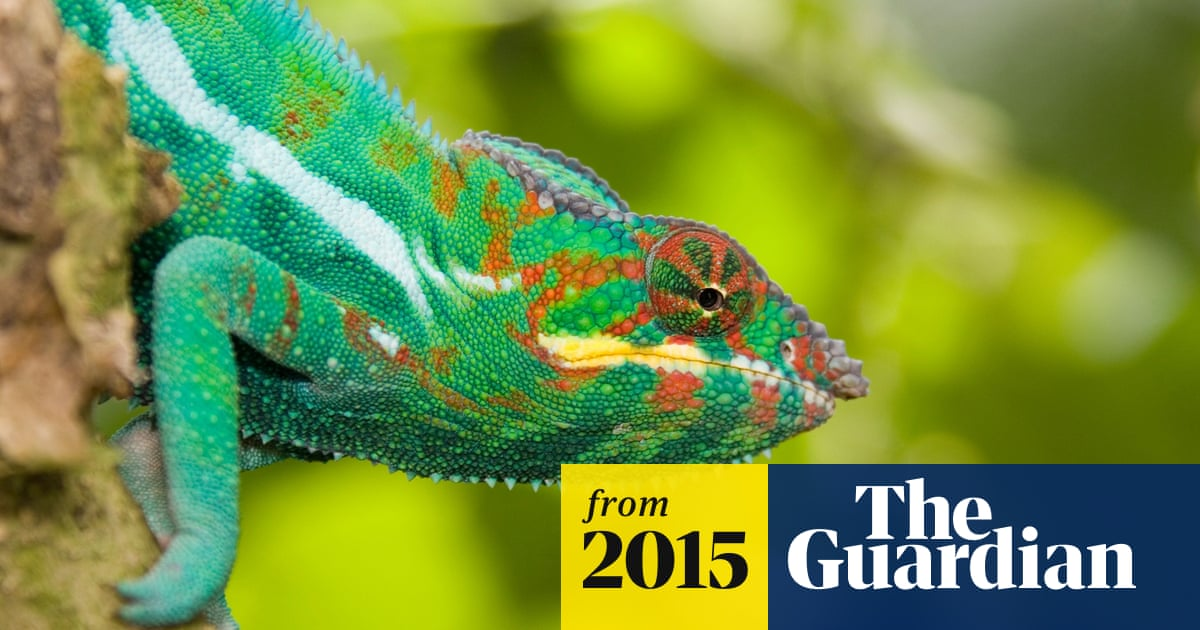 Crystal amaze: how a chameleon changes colour revealed