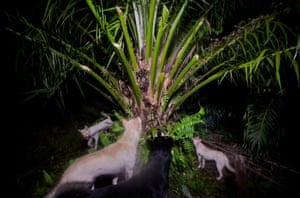 There are four African and four Asian species of pangolin but these pictures are all taken in Indonesia. Hunting dogs surround a tree where a pangolin is trying to hide, in Kalimantan. The illegal trade in pangolins is estimated to be worth about $19bn (£12.7bn) a year.