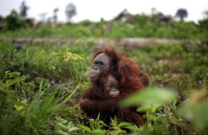 A terrified orangutan mother comforts her young daughter following the loss of the trees that provide their natural habitat in Sumatra, Indonesia.