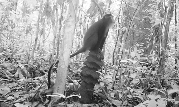 A camera trap catches a lesula surveying the forest.