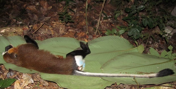 A mystery primate from the TL2 region that was killed by a hunter for bushmeat. The Harts believe the animal may be a Dryas monkey.