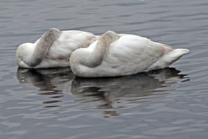 Sleeping Whooper Swans