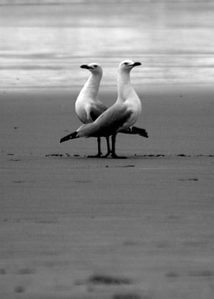 Mirrored poses A pair of seagulls on a beach in Australia