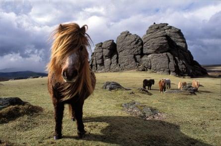 Ponies on Dartmoor, Devon.