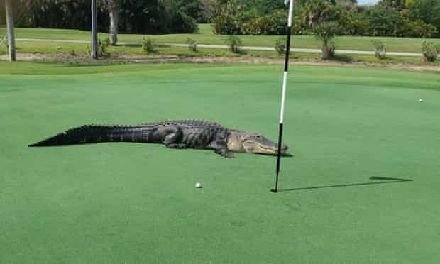 florida american alligator golf course