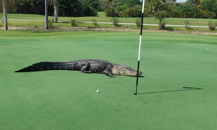 Alligator Hazard Is Par For The Course At Florida Golf Club Florida The Guardian