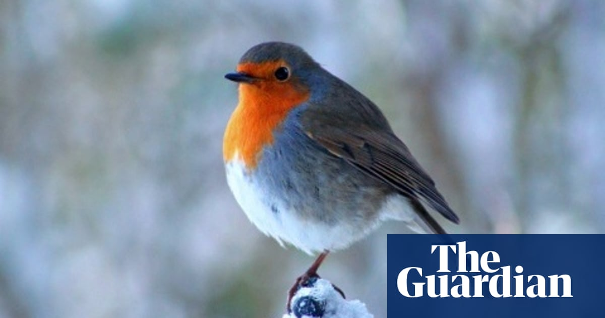 Wren Robin Or Red Kite Which Should Be Britain S National Bird Birds The Guardian