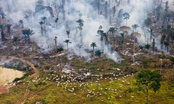 Cows graze next to burning Amazon