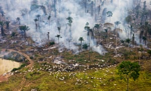 Cows graze next to burning Amazon