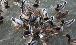 Mallard (Anas platyrhynchos), great number of birds crowding together fighting about pieces of bread thrown into the water
