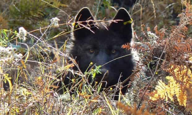 A wolf hiding.