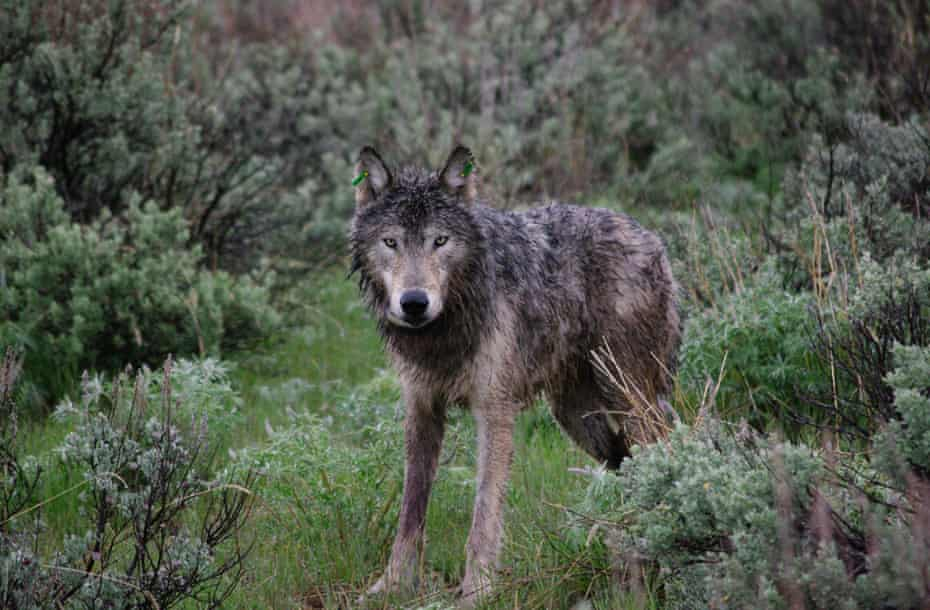 A wolf after being released.