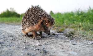 A hedgehog sits on a track near Hanover-Wuelferode, central Germany, on August 12, 2012. To protect their body, hedgehogs have around 5,000 spines on average.