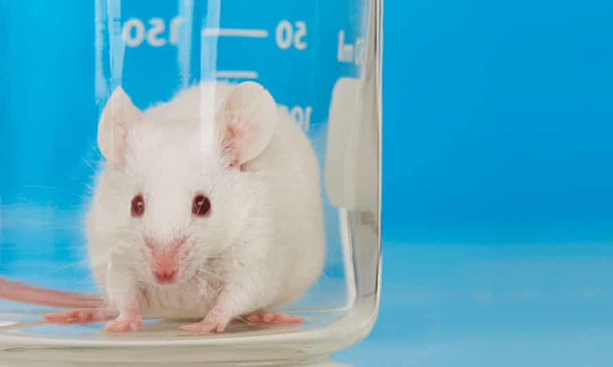 White mouse in lab