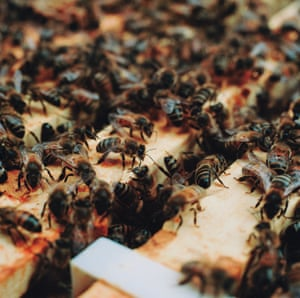A honey bee colony can contain up to 60,000 bees at its peak. It takes a lot of bees to get all the work done. They work as a team. The specific jobs and duties they perform during their short lives (6 weeks in summer, up to 8 in winter) vary as they age. Nurse bees care for the young, while the Queen's attendant workers bathe and feed her. Guard bees stand watch at the door, to make sure no undesirables enter the hive.  Construction workers build the beeswax foundation in which the queen lays eggs, and the workers store honey. Mortuary bees carry the dead from the hive. Foragers must bring back enough pollen and nectar to feed the entire community.