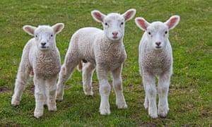 Three white sheep lambs