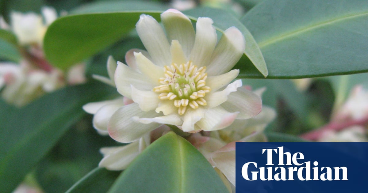 Illiciums: flowers from dinosaur times