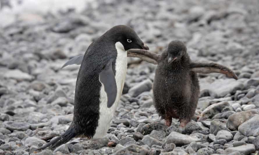Adelie Penguin in Antarctica.