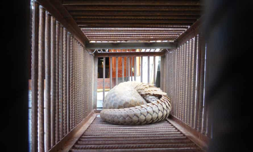Live pangolin outside a restaurant in the Golden Triangle Special Economic Zone. All four species found in Asia are listed as either Endangered or Critically Endangered by the International Union for Conservation of Nature (IUCN).
