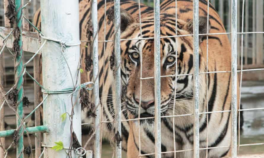 A caged tiger bred for slaughter in the Golden Triangle Special Economic Zone.