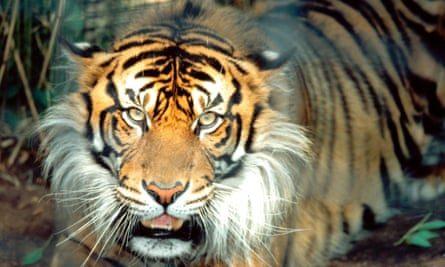 An Asian tiger. Meat from rare animals are being sold in restaurants in Laos' special economic zone according to a new report by the Environmental Investigation Agency