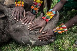 Samburu warriors touch an orphaned rhino called Kilifi for the first time at Lewa wildlife conservancy in Kenya