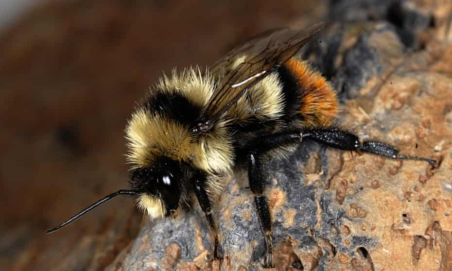 Bombus cullumanus, a bee species listed as critically endangered by the IUCN