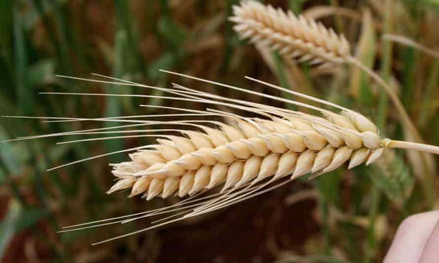 Another beautiful image of wheat during a field visit to the International Center for Agricultural Research in the Dry Areas in Syria.