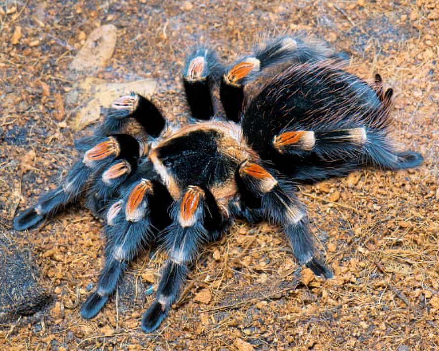 Mexican red knee tarantula at Amazona Zoo