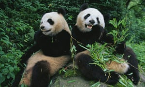 Two giant pandas sit on a rock and eat bamboo in  Wolong Panda Reserve, Sichuan Province.