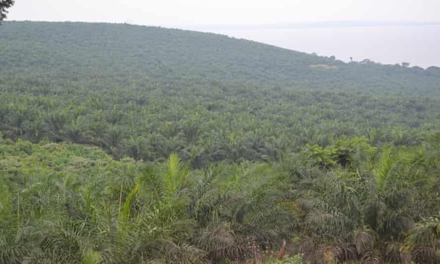 Palm oil plantation in Kalangala district, Uganda.