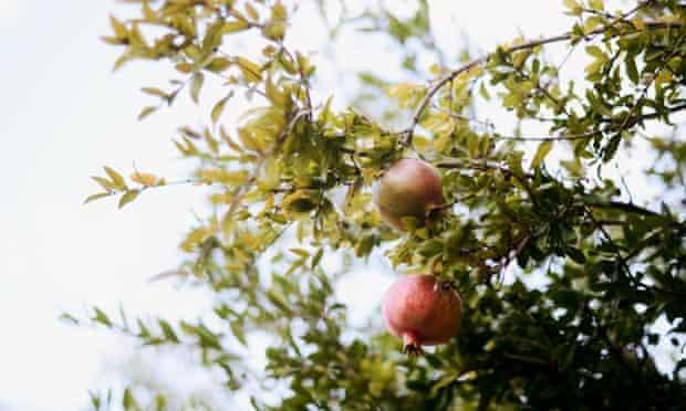 Autumn is the season for pomegranates.