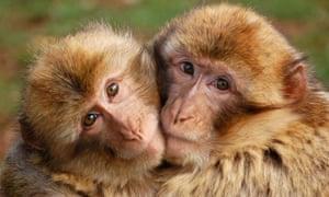 Monkeys hug