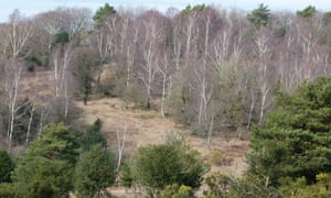 Silver birches at Crow's Nest Bottom, New Forest.