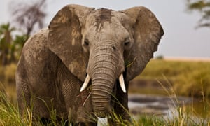 Thousands of elephants are still being killed for their ivory.