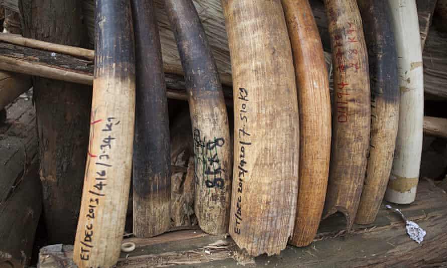 elephant tusks poching end