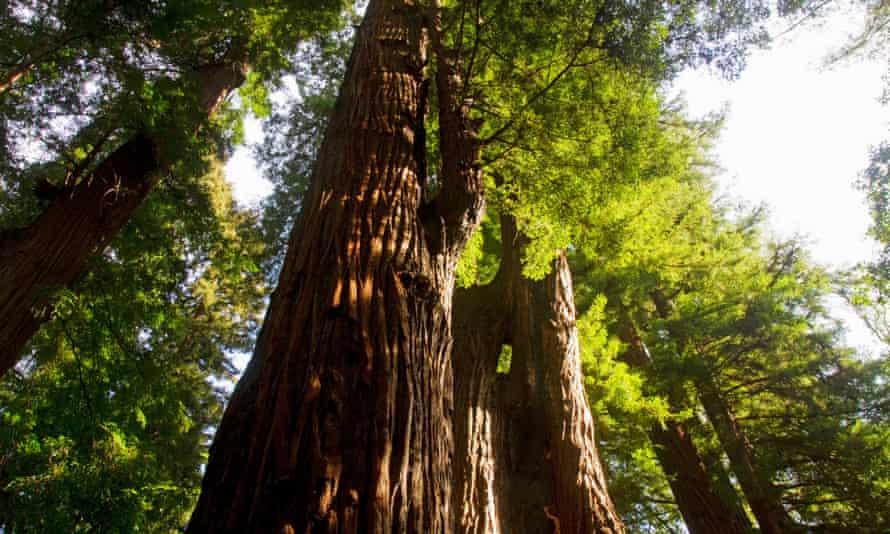 Coast redwood trees in California