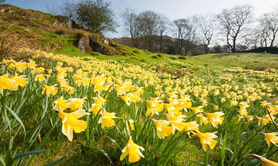 Daffodils growing near Loughrigg Tarn, in Ambleside, Lake District