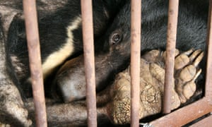 Asiatic black bear in a bile factory in China. Its cracked paws are due to lack of use.